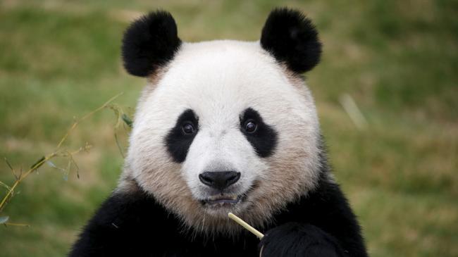 panda_03.jpg
