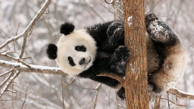 panda_06.jpg