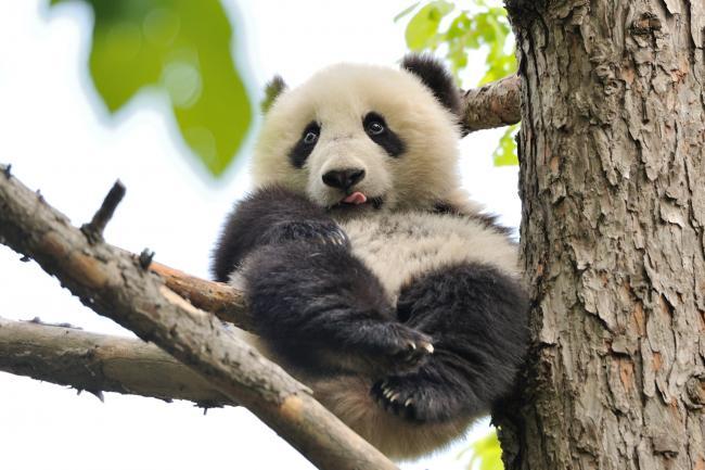 panda_08.jpg