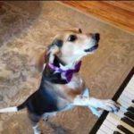 my-name-is-buddy-mercury-singing-piano-dog-sensation-rCXWdM6P5IIhqdefault-e1558698236177-150x150.jpg
