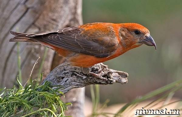 klest-ptica-obraz-zhizni-i-sreda-obitaniya-klesta-1.jpg