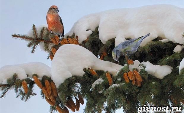 klest-ptica-obraz-zhizni-i-sreda-obitaniya-klesta-2.jpg