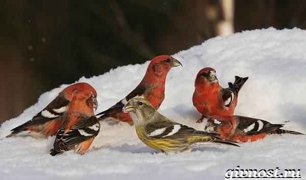 klest-ptica-obraz-zhizni-i-sreda-obitaniya-klesta-3.jpg
