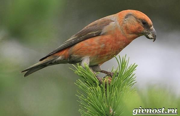 klest-ptica-obraz-zhizni-i-sreda-obitaniya-klesta-4.jpg