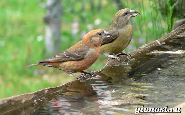 klest-ptica-obraz-zhizni-i-sreda-obitaniya-klesta-5.jpg