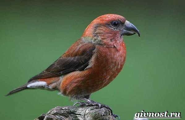 klest-ptica-obraz-zhizni-i-sreda-obitaniya-klesta-6.jpg