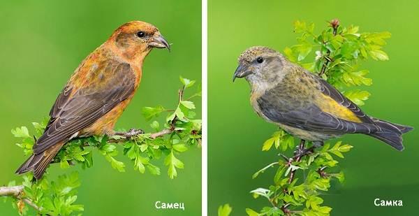 klest-ptica-obraz-zhizni-i-sreda-obitaniya-klesta-7.jpg