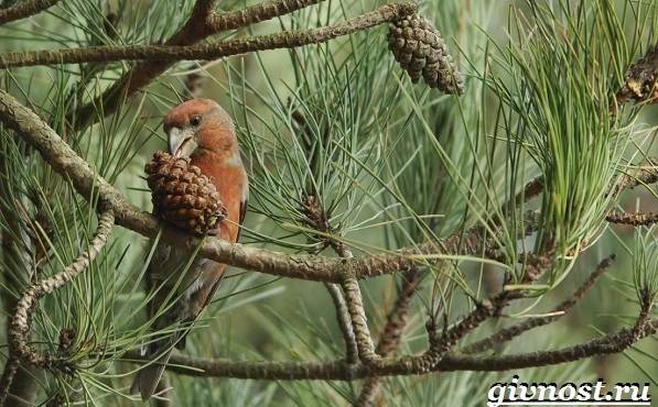 klest-ptica-obraz-zhizni-i-sreda-obitaniya-klesta-8.jpg
