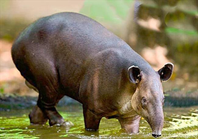 tapir-berda-pyot.jpg