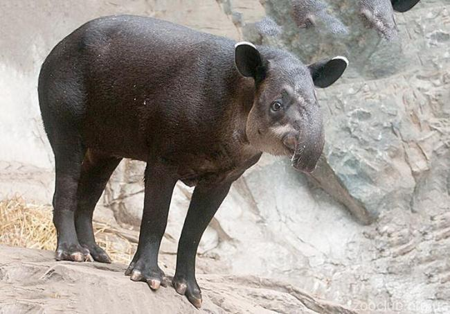 tapir-berda-stoit.jpg