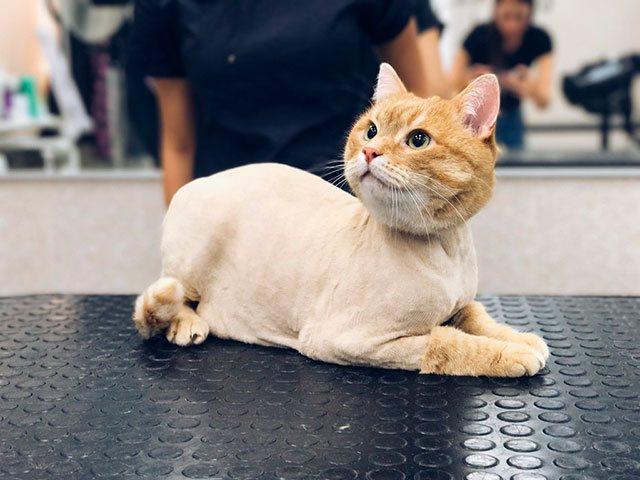 haircut-british-cats-6.jpg