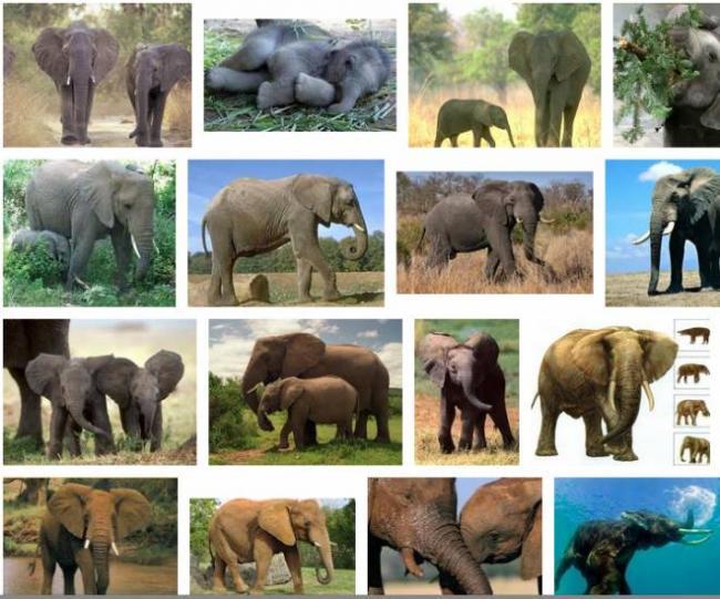 Slon.png