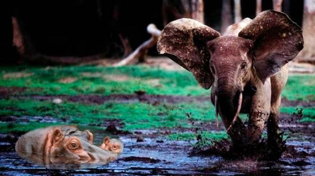 kto-tyazhelej-slon-ili-begemot.jpg